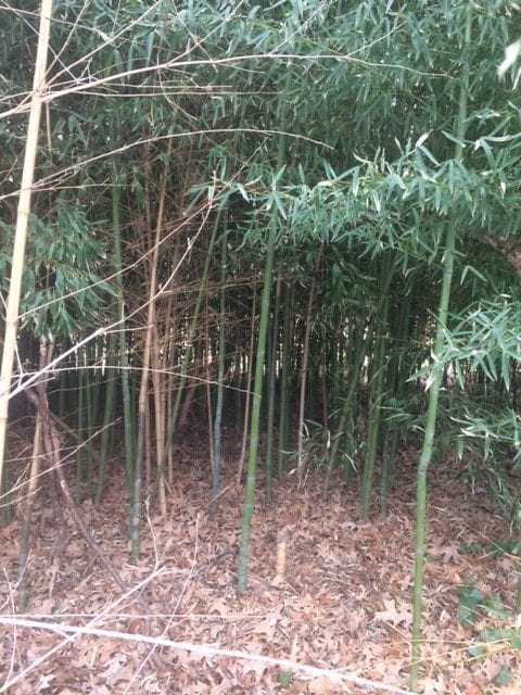 Eco Answers From The Pros Controlling Invasive Bamboo