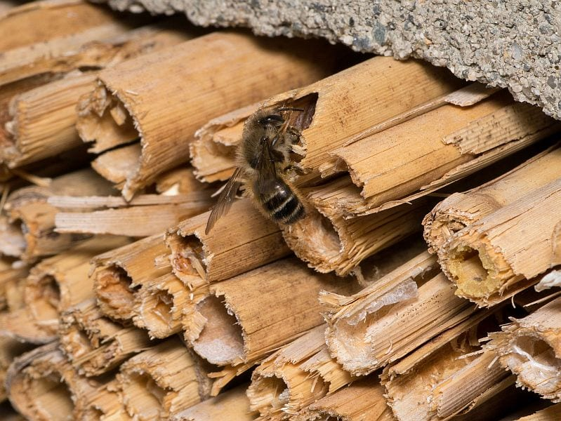 A Bee Enters Her Nest In Stem Of Phragmites