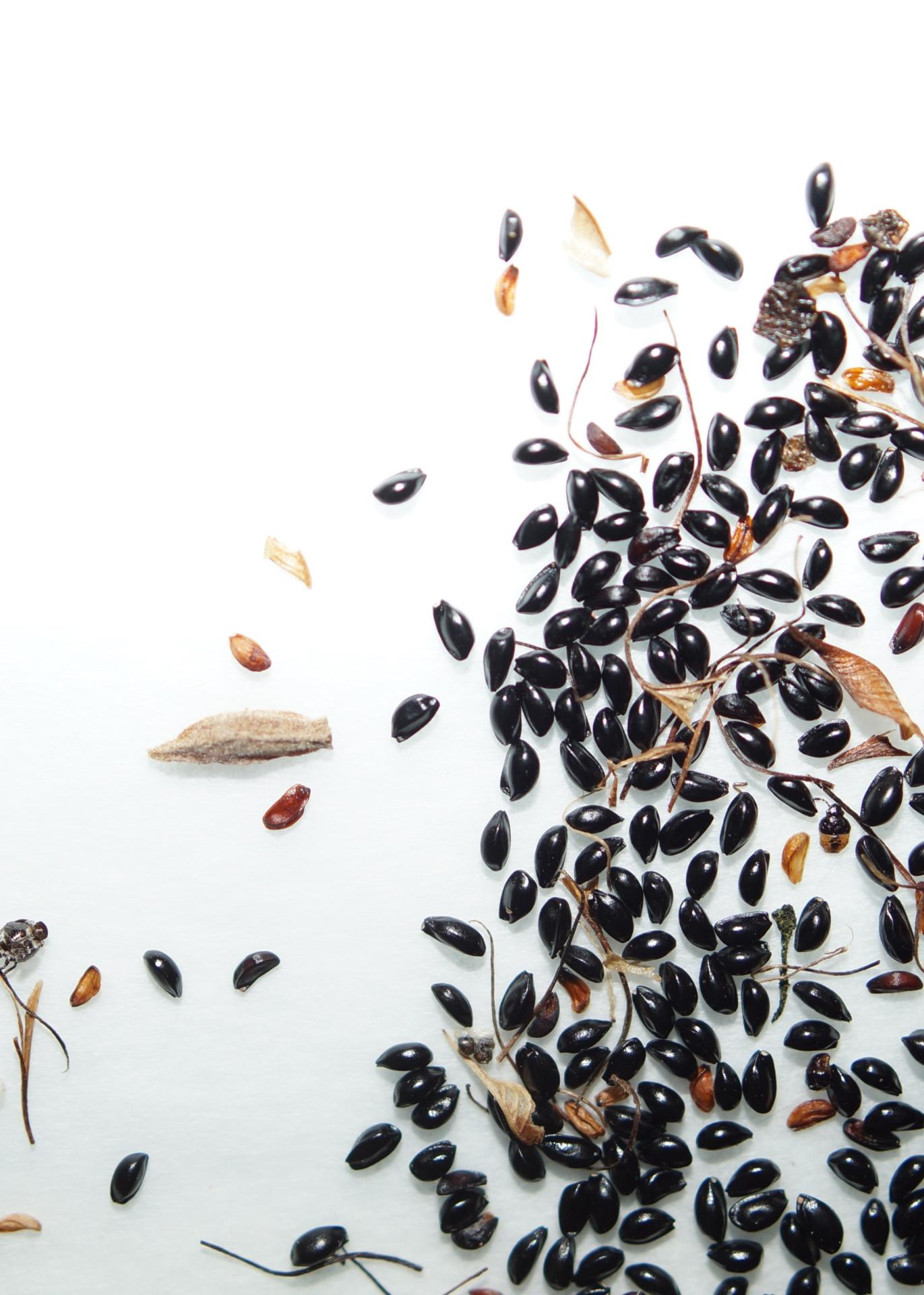 семена аквилегии