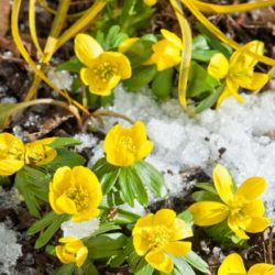 winter-aconite (1)