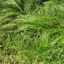 CarexPensylvanica