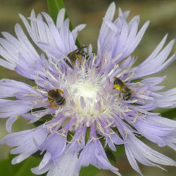 Stokesia laevis, Halictus sp.