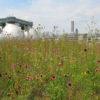 Kingsland Wildflowers Greeroof_planting selection by LWLA