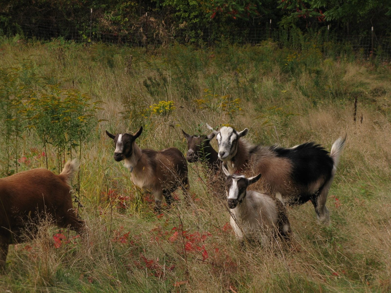 Goats As An Ecological Management Option For Invasive Plants Ecological Landscape Alliance