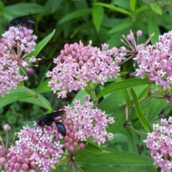Wildflower Meadow Swamp Milkweed 8-6-18