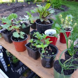 Judy Beaudette - Giving Plants - Getting New Friends 2