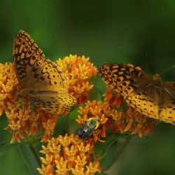 Butterfly Weed - Aesclepias CR