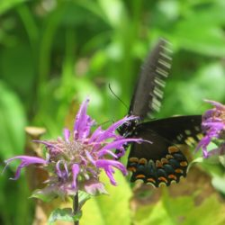 Spicebush Swallowtail Butterfly CLoseup