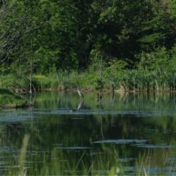 A blue heron in the wetlands as they appear today. Photo by Pam Morris Olshefski.