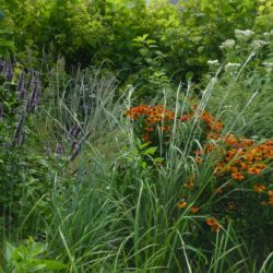 From left: A garden of anise hyssop, little bluestem, sneezeweed, boneset in front of smooth hydrangea.