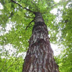 chestnut-01-1536776497