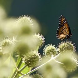 Monarch Butterfly on rattlesnake master (Eryngium yuccifolium) Photo by Nick Novick