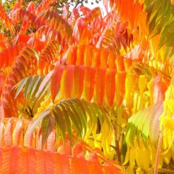 sumac-Foliage