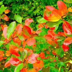 <em>Aronia melanocarpa </em> (chokeberry)