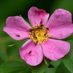 <em>Rosa Palustris</em> bloom with flower longhorn and pollinator