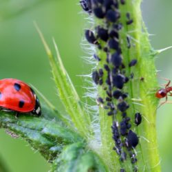 Lady beetle enjoying aphids for lunch.