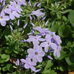 Creeping Phlox stolonifera is an excellent ground cover.