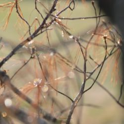 Figure 6, illustrates excessive resin from injured twigs with accompanying brown needles oozing with resin.