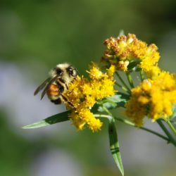 goldenrod and bee 2