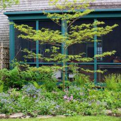 HMC Brookesville garden, alternate leaved dogwood, pagoda dogwoo