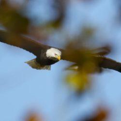 Soaring Eagle.Photo by Chun Sun