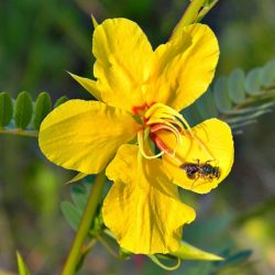 Partridge_Pea_&_Bee_(5761053027)