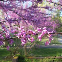 <em>Cercis canadensis</em>( Eastern redbud) Photo credit Hoodedwarbler 12 Wikimedia Commons.