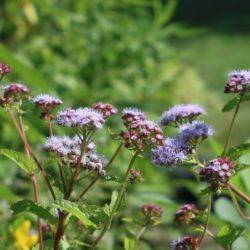 Blue mistflower <em>(Conoclinium coelestinum)</em> is a stunning highlight in a garden.