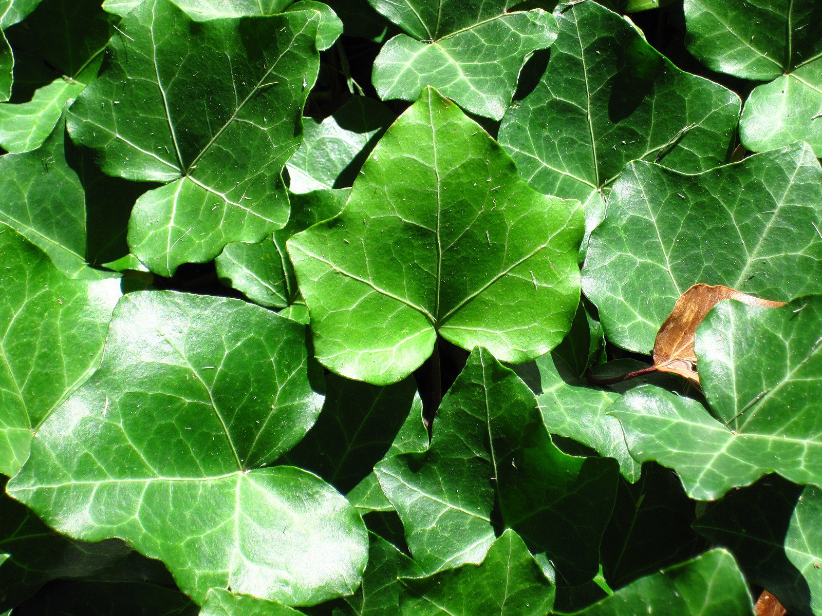 Eco-Answers from the Pros: Removing English Ivy