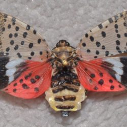 Adult spotted lanternfly with wings spread open. ( Photo Courtesy of Gregory Hoover.)